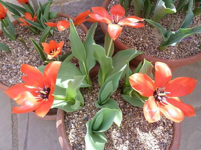 Тюльпаны Фостера сорт Сильвия ван Леннеп (Sylvia van Lennep)