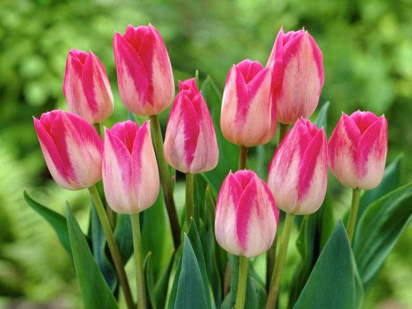 Тюльпан Триумф сорт Бленда Флейм фото