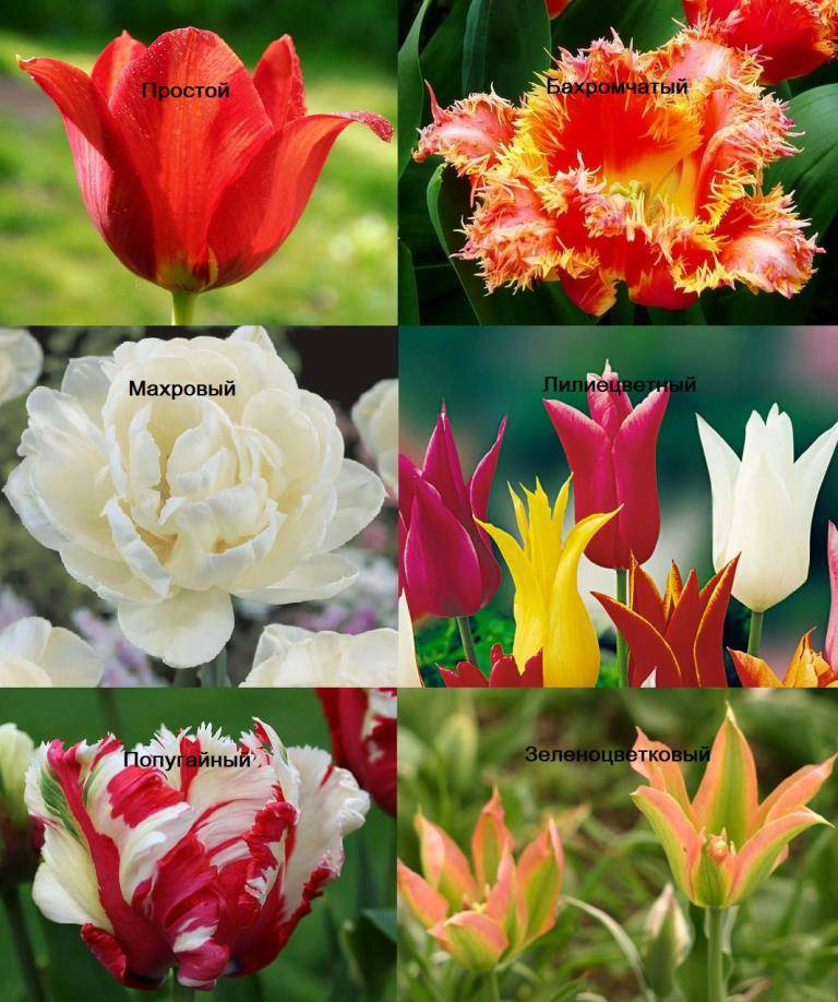 Форма цветка тюльпана