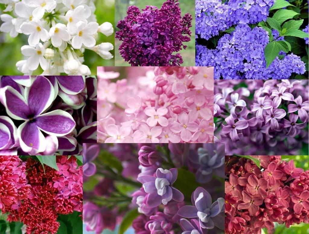 Цветок и похожие на сирень названия 6