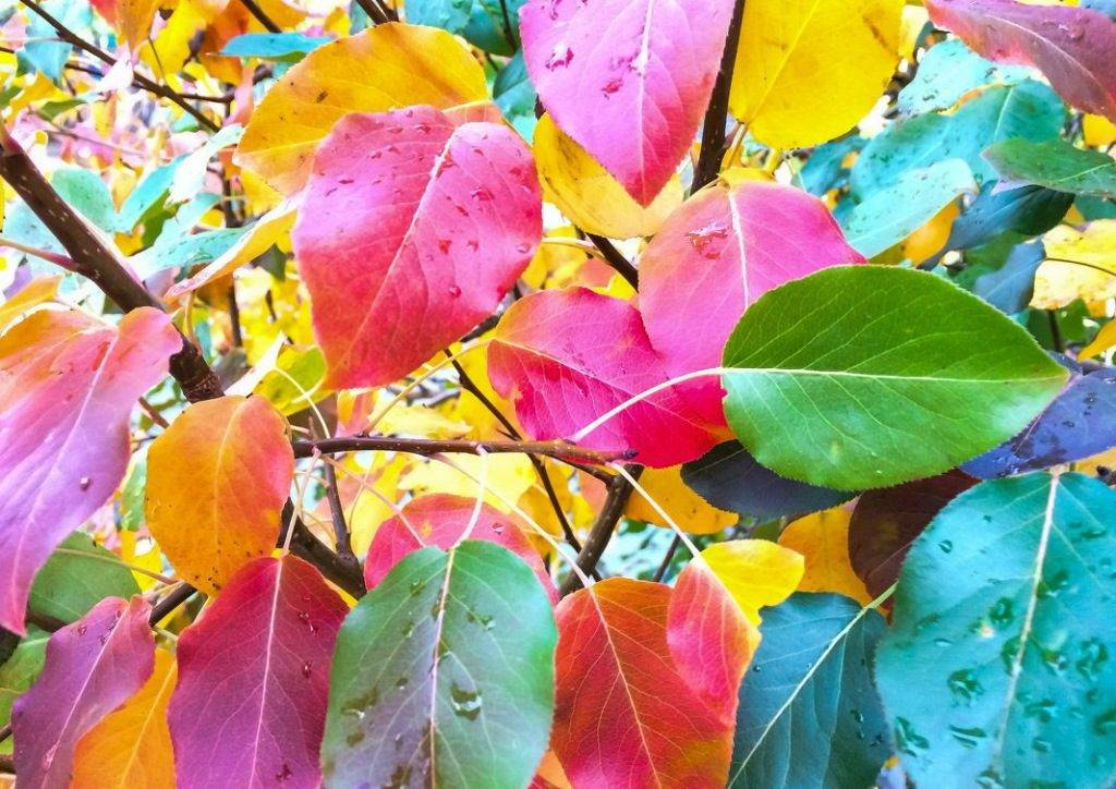 Цвет листьев груши осенью