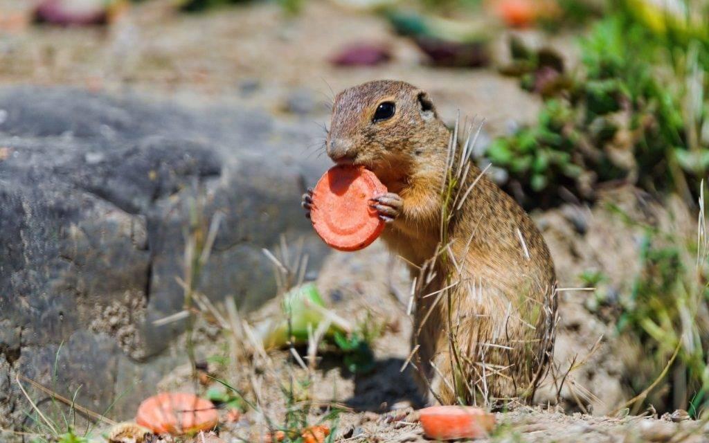 Чем кормить сусликов