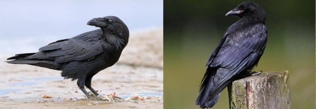Чем отличается ворон от вороны фото