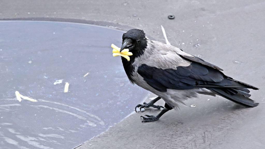Чем питаются вороны
