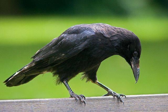 Черная ворона фото (лат. Corvus corone)