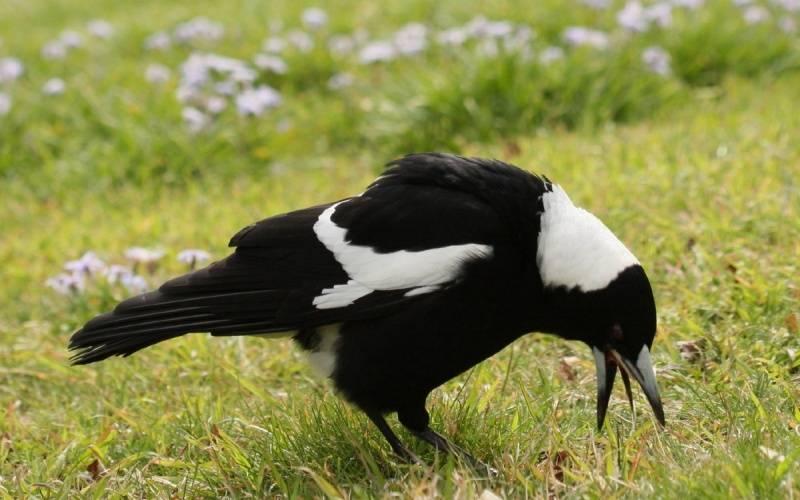 Черно-белая ворона