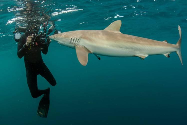 Шелковая (флоридская, широкоротая) акула (лат. Carcharhinus falciformis)
