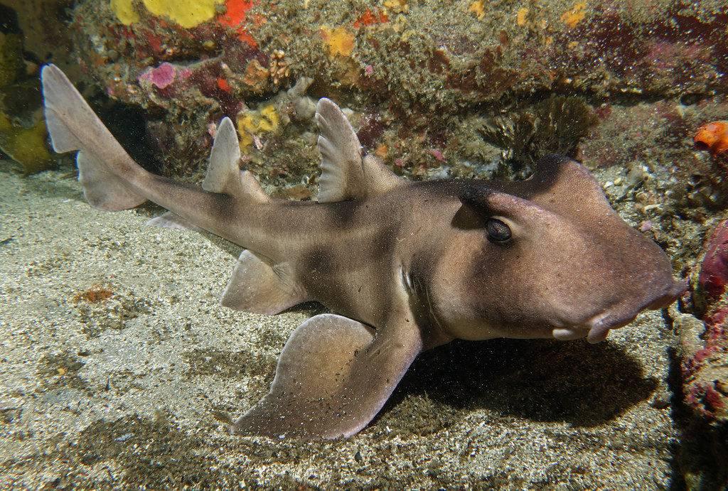 Шлемовидная бычья акула (лат. Heterodontus galeatus)
