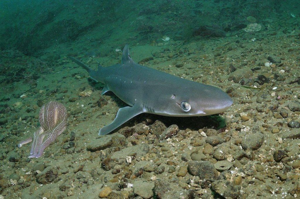 Южный катран, морская собака или ноготница (лат. Squalus acanthias)