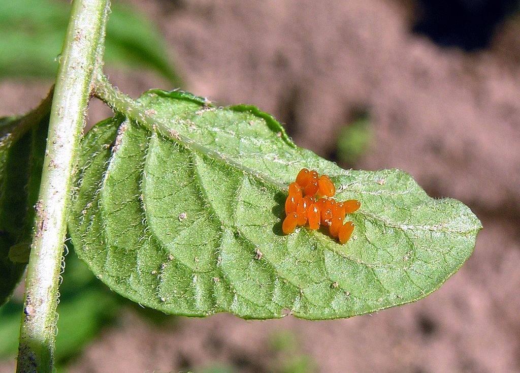 Яйца колорадского жука фото