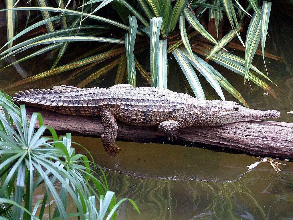 Австралийский узкорылый крокодил (лат. Crocodylus johnstoni)