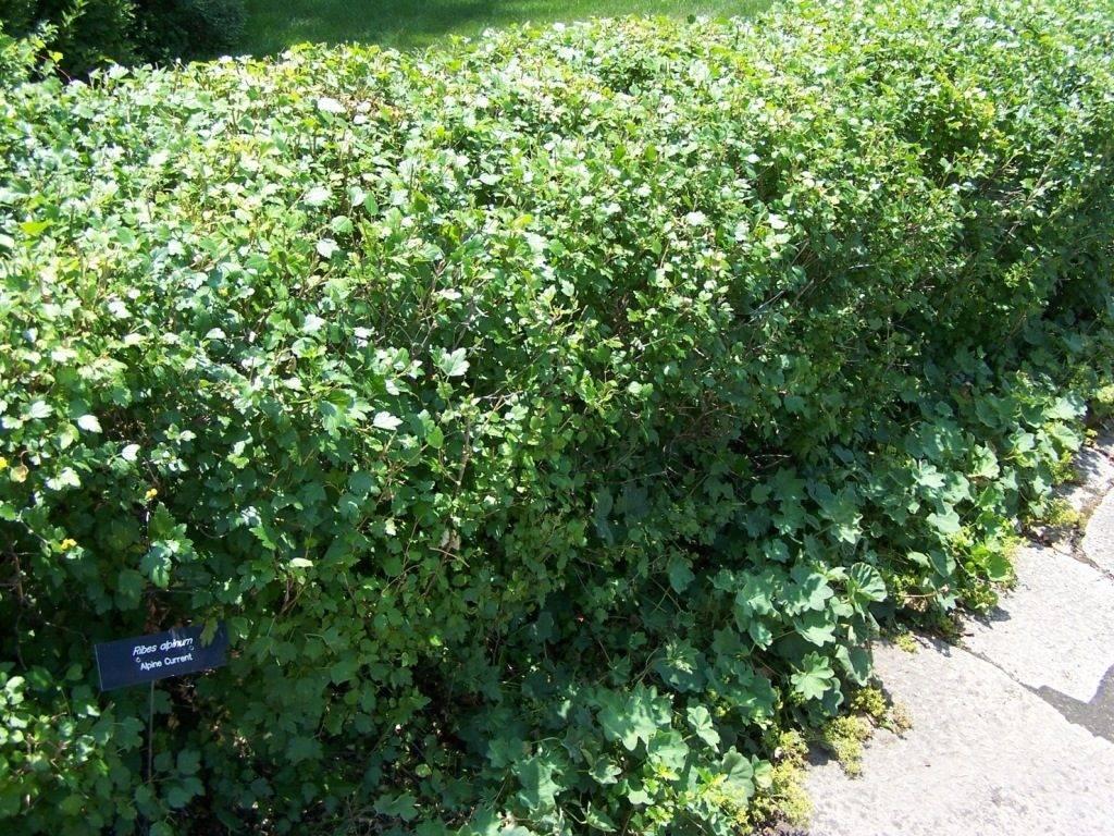 Альпийская смородина (лат. Ribes alpinum)