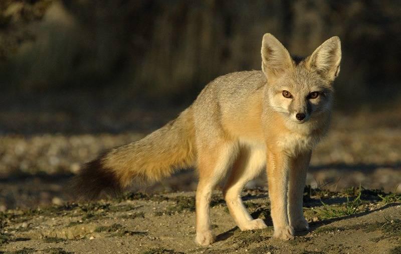 Американская лисица (лат. Vulpes macrotis)