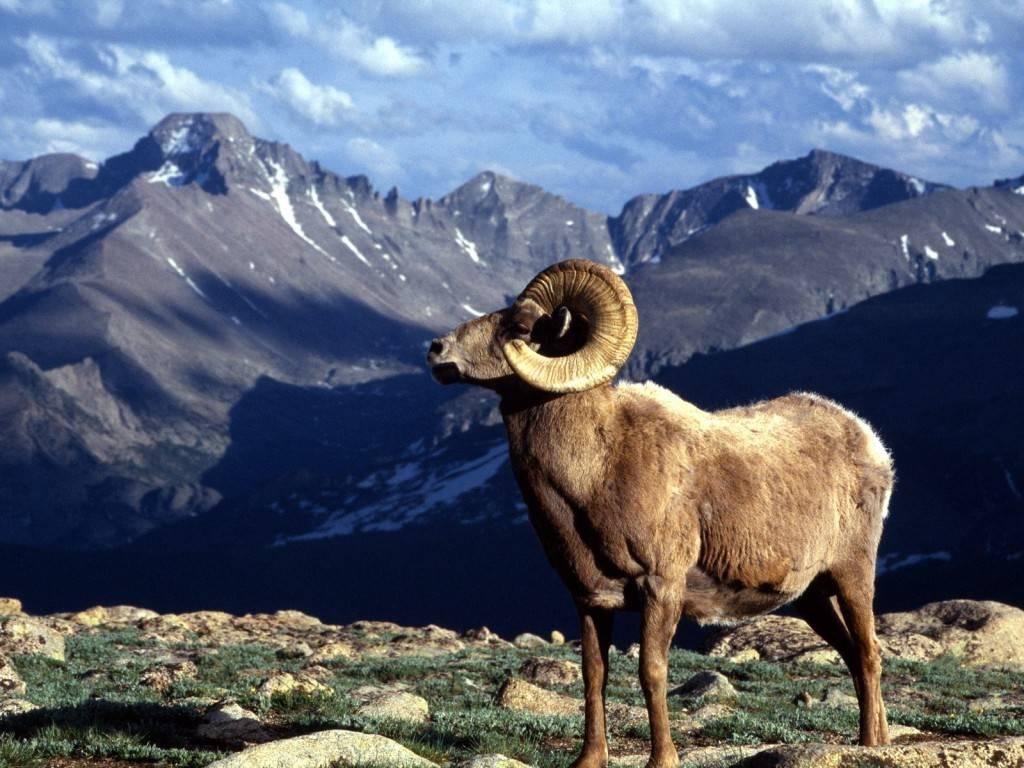 горный баран тур фото животное как все нормальные