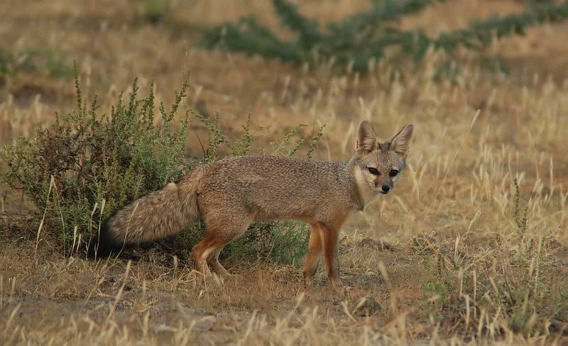 Бенгальская лисица (индийская лисица) (лат. Vulpes bengalensis)