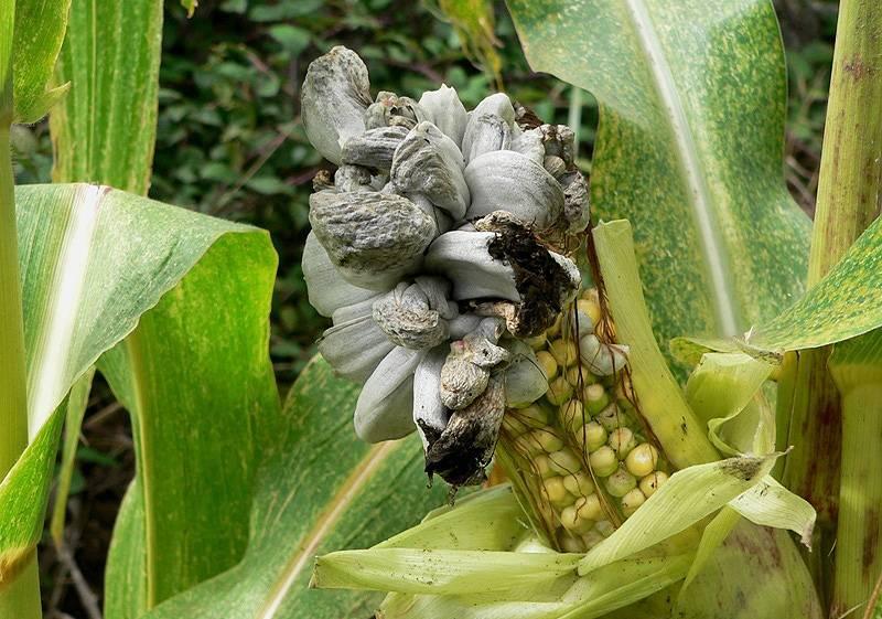 Болезни кукурузы – пузырчатая головня
