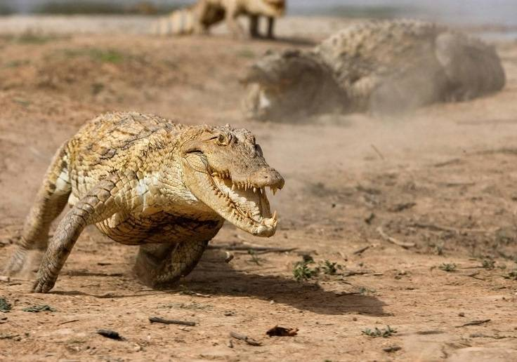 Большой крокодил бежит