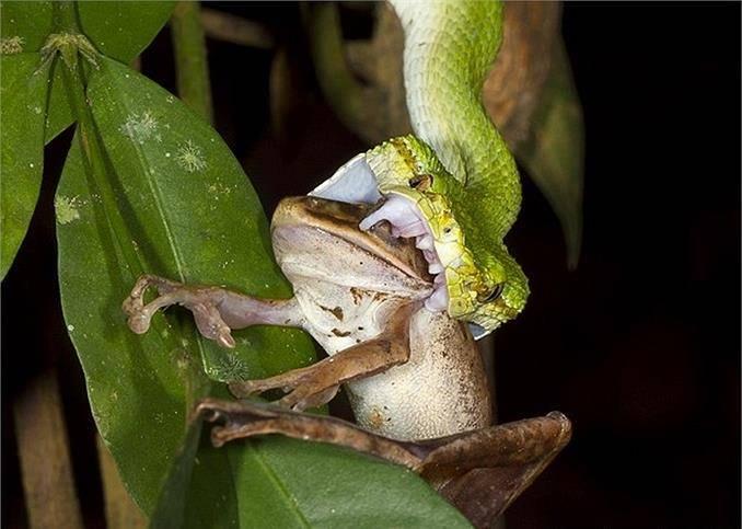 Гадюка атакует лягушку, вонзая в нее свои клыки