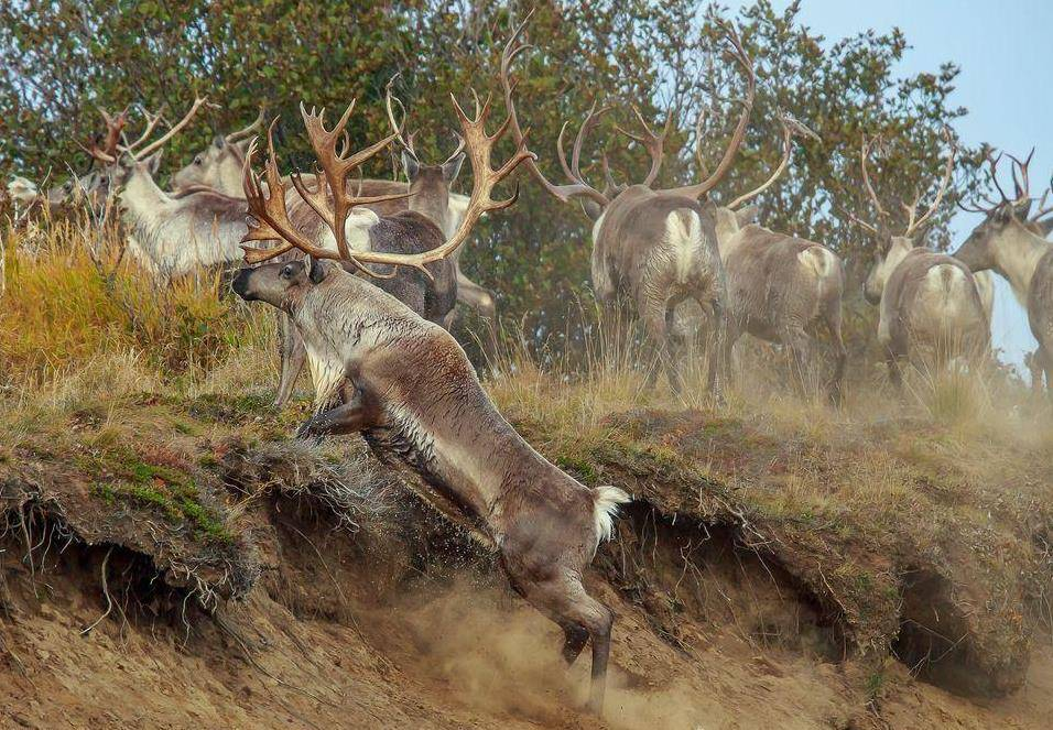 Где обитают олени