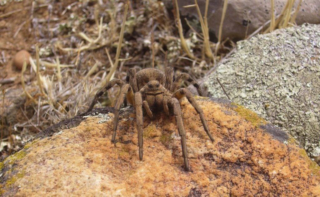 Где обитают тарантулы