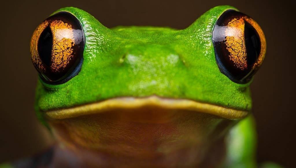 Глаза древесной лягушки