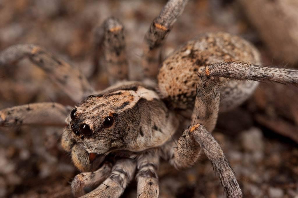 Глаза тарантула – вид сбоку