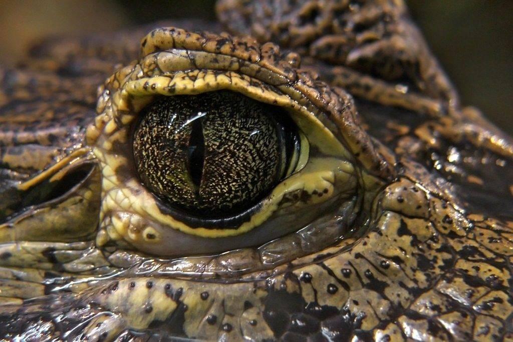 Глаз крокодила фото