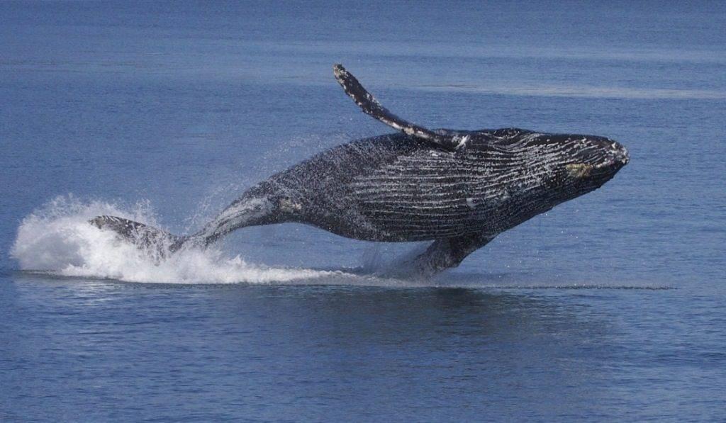 Горбатый кит фото