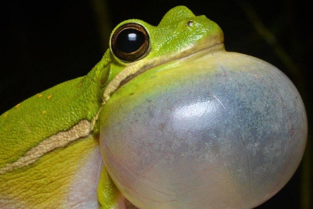 Горловой мешок лягушки древесницы