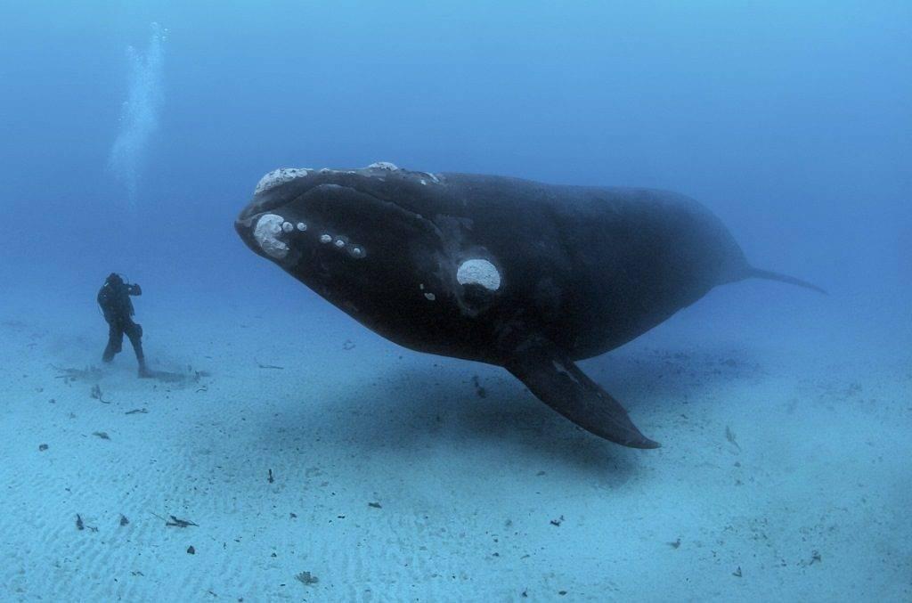 Гренландский кит (полярный кит) (лат. Balaena mysticetus)