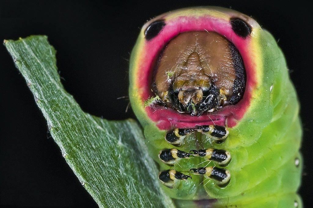 Гусеница большой гарпии (лат. Cerura vinula)