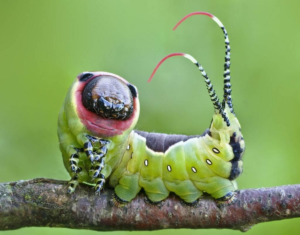 Гусеница большой гарпии фото