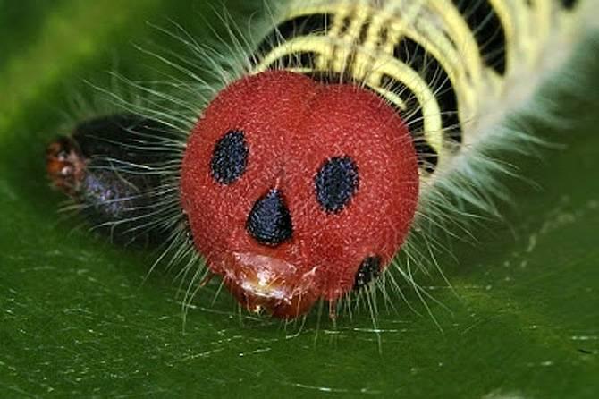 Гусеница с красным лицом, похожим на маску для Хэллоуина (лат. Hasora badra)