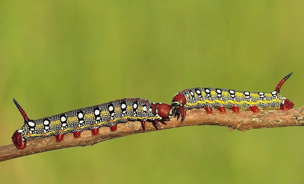 Гусеница с рогом бражника молочайного (лат. Hyles euphorbiae)