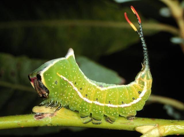 Гусеница с хвостом (лат. Cerura scitiscripta)