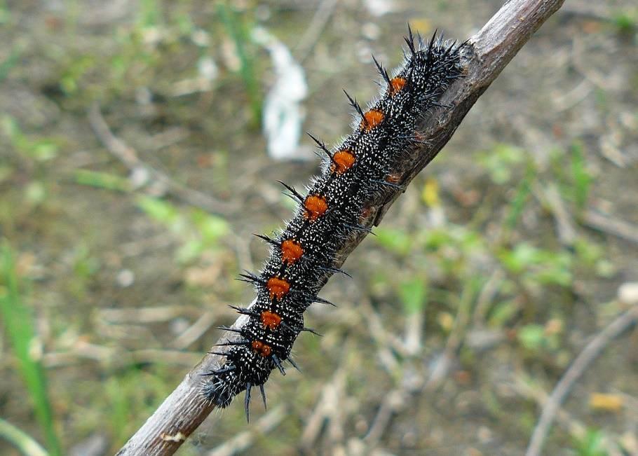 Гусеница траурницы черного цвета с красными пятнами (лат. Nymphalis antiopa)