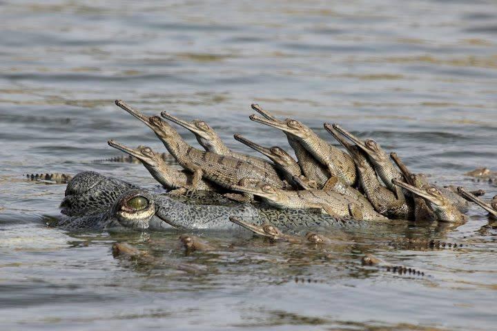 Детеныши крокодила на спине мамы