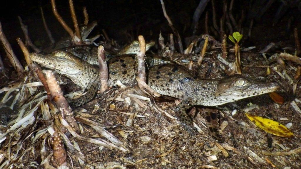 Детеныши крокодила