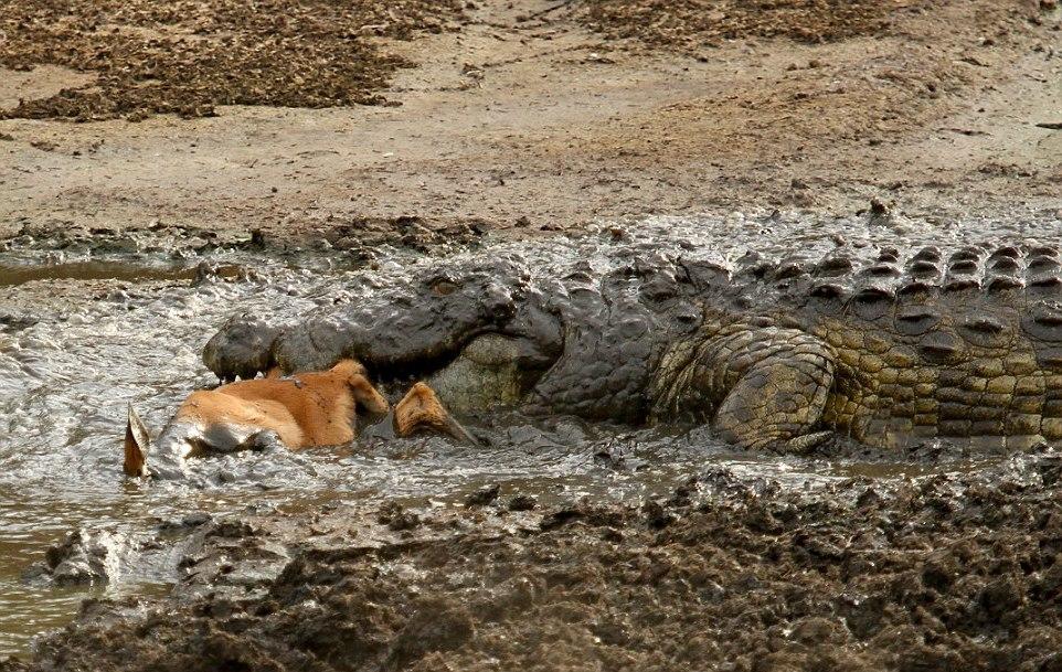Добыча крокодила