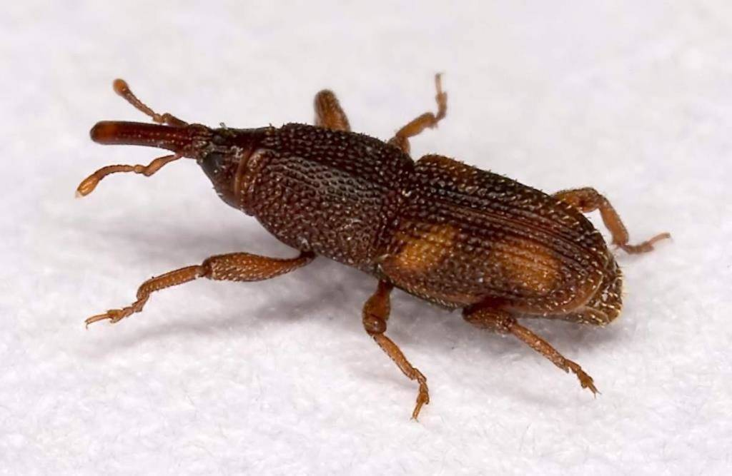 Долгоносик рисовый (лат. Sitophilus oryzae)