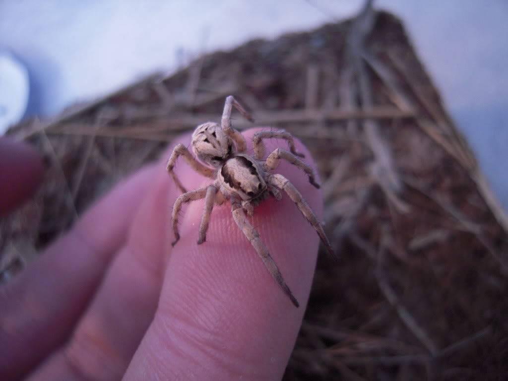 Домашний тарантул фото