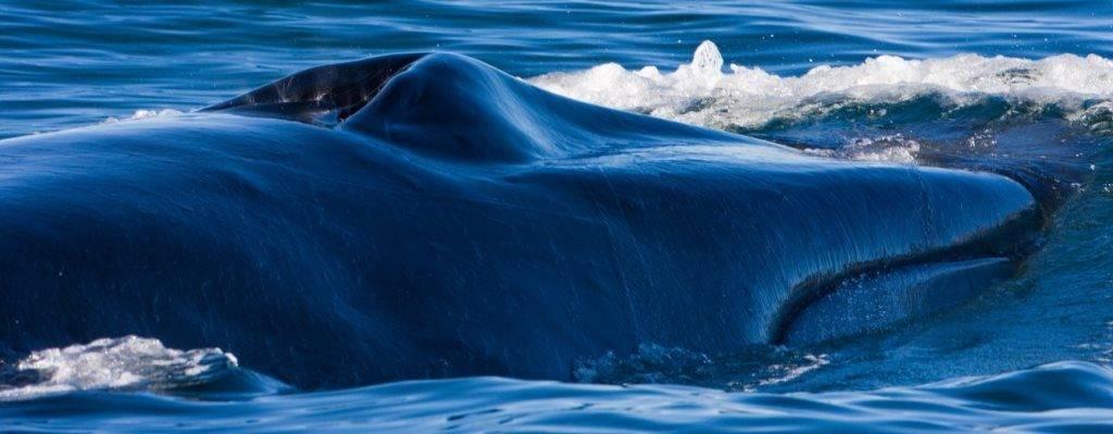 Дыхало кита