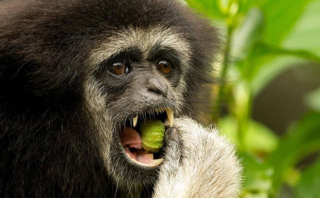 Еда обезьян