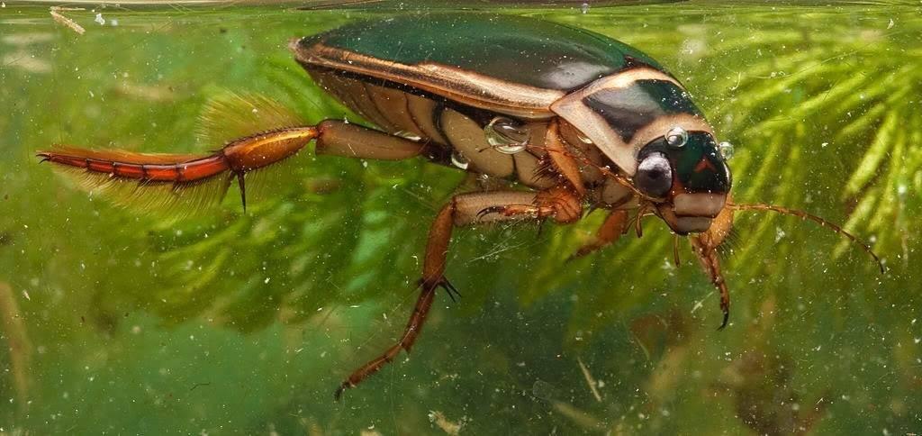 Жук-плавунец окаймленный (лат. Dytiscus marginalis)