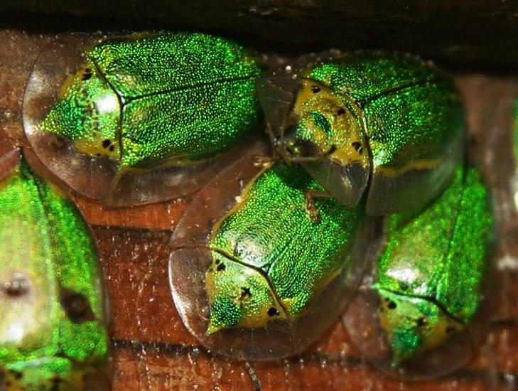Зеленый жук из подсемейства щитоноски