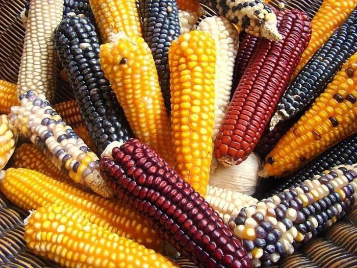 Зерна кукурузы фото
