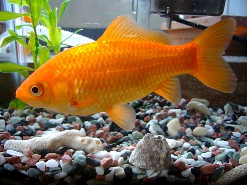 Золотая рыбка (лат. Carassius auratus)