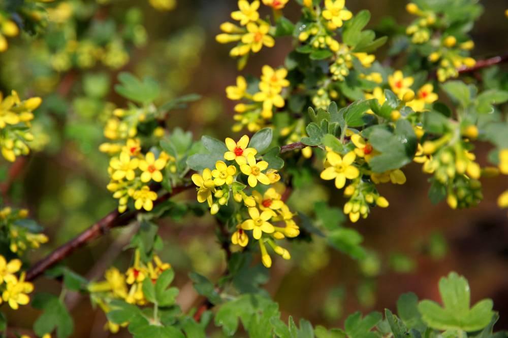 Золотистая смородина (золотая смородина) (лат. Ribes aureum)