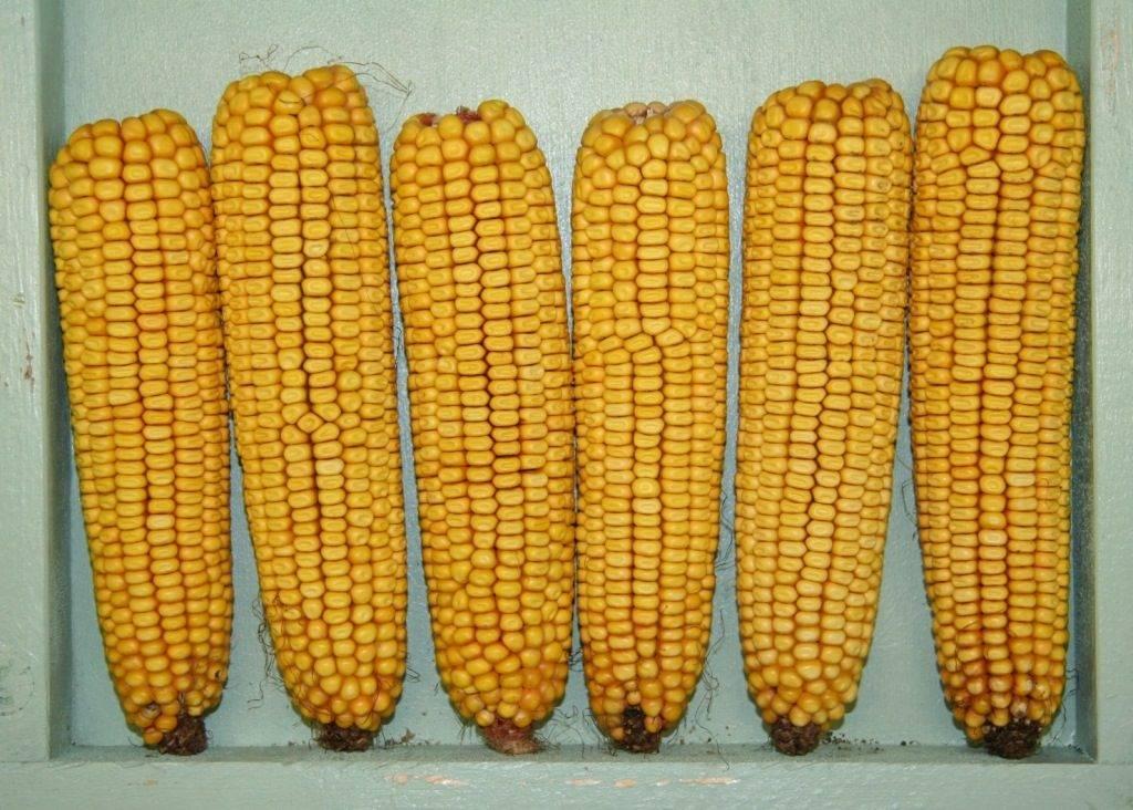 Зубовидная кукуруза (лат. Zea mays indentata)