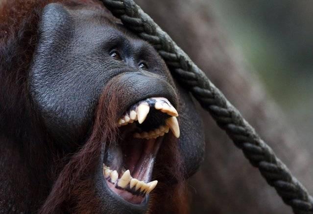 Зубы обезьяны